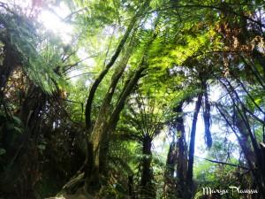 Forêt de Nouvelle-Zélande