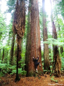 Arbre Redwood