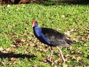 Pukeko Rotorua parc