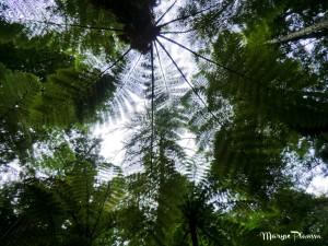 feuillage Redwood